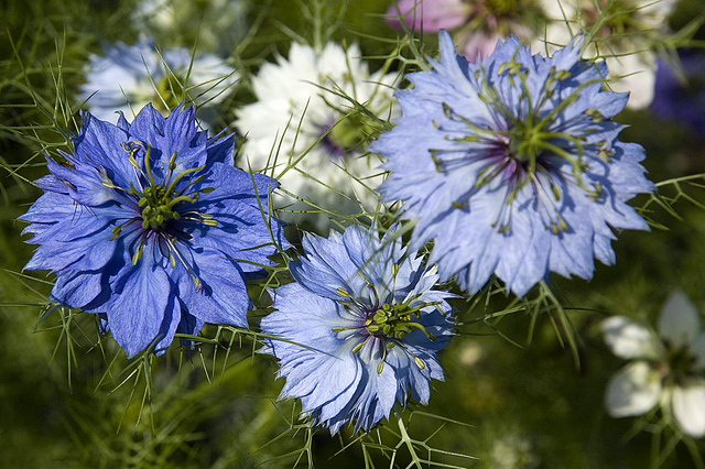 yellow tent adventures : Love-in-a-Mist